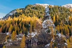 K_094  Herbst im Karwendelgebirge (wenzelfickert) Tags: karwendelgebirge tirol alpen natur larch lrche lrchenwald bume trees landschaft landscape wald forest berge mountains schnee snow sterreich austria herbst autumn