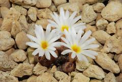 2 octobre 2016 - Conophytum pellucidum var. terricolor SH2271 (Mafate79) Tags: 2016 conophytumpellucidumvterricolor conophytumpellucidumvarterricolor conophytumpellucidum terricolor sh2271 conophytum aizoaceae aizoaces aizoace mesemb mesembryanthemaceae mesembryanthemaces mesembryanthemace plante fleur sectionpellucida elk