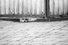 Hier wache ich! (UsualRedAnt) Tags: grfinauangstedt suger tamron70300mm stil deutschland schwarzweis thringen architektur tor tier canon f56 natur hund canislupusfamiliaris germany style
