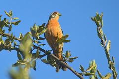 Rara macho (Phytotoma rara) (gabicontrerasb) Tags: ave birds bird aves chile rara