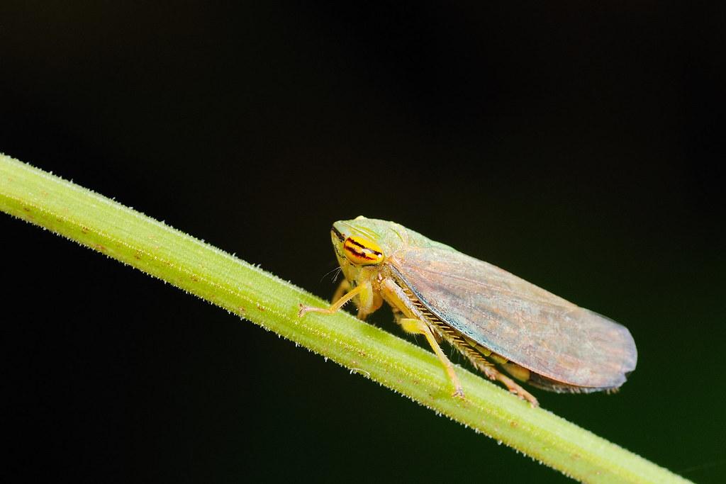 褐翅葉蟬 Tartessus ferrugineus
