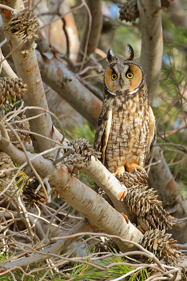Long-eared-Owl-051104