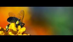 les ailes (Maryse Algoet) Tags: macro bokeh insectes guèpe sigma105mm nikond90 estremità flicktravelaward nationalphotocgraphic