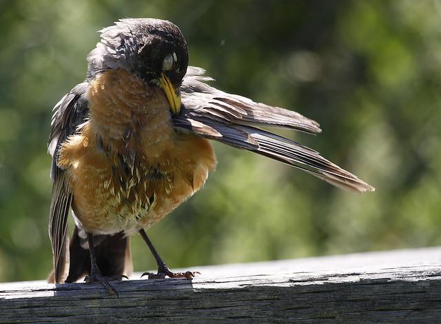 young robin preening6