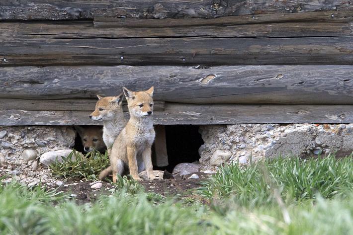 061311_coyote04
