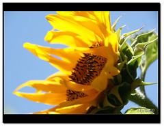 (70) Tags: flowers summer sky macro nature colors yellow gold estate sony ciel giallo cielo sunflowers fiori girasoli myriam70