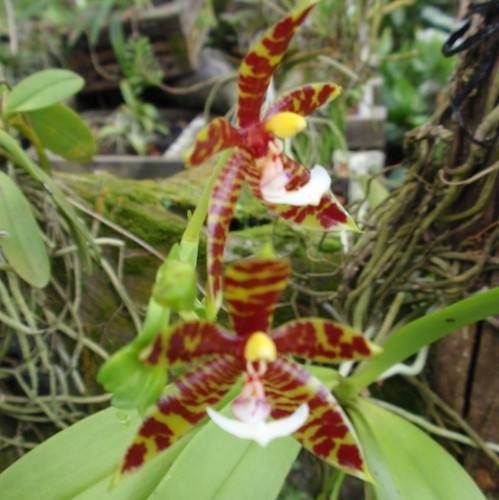 Orchids Sepilok