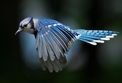 C69I4440 (sqrphoto) Tags: blue wild bird nature animal canon wings jay flight feathers nj bluejay unioncounty berkeleyheights specanimal fantasticnature sqrphoto