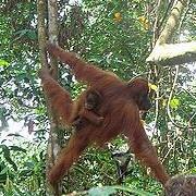 遊客在印尼熱帶雨林遺產中的蘇門達臘亞齊省Gunung Leuser 公園中,近距離觀察紅毛猩猩與牠的寶寶。圖片節錄自:der Willy 相本。