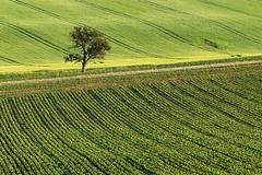 single (Dennis_F) Tags: tree green field lines zeiss germany way landscape deutschland path sony feld single grn fullframe dslr baum weg 135mm linien kraichgau einzeln 13518 a850 sonyalpha sonydslr vollformat cz135 zeiss135 dslra850 sonya850 sonyalpha850 alpha850 sony135 sonycz135