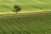 single (Dennis_F) Tags: tree green field lines zeiss germany way landscape deutschland path sony feld single grün fullframe dslr baum weg 135mm linien kraichgau einzeln 13518 a850 sonyalpha sonydslr vollformat cz135 zeiss135 dslra850 sonya850 sonyalpha850 alpha850 sony135 sonycz135