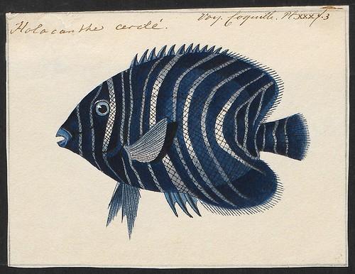 Engelvis - Pomacanthus semicirculatus