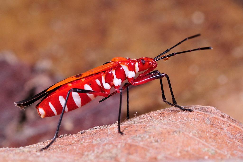 赤星椿象 Dysdercus cingulatus