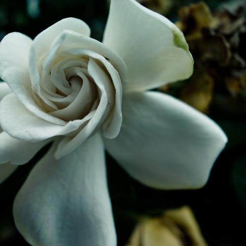 White Frgrant Spin, Gardenia
