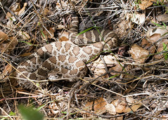 "Pacific Western rattlesnake 1 • <a style=""font-size:0.8em;"" href=""http://www.flickr.com/photos/30765416@N06/5909895341/"" target=""_blank"">View on Flickr</a>"