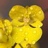 april showers, i (_aires_) Tags: orchid macro canon droplets drops orchids aires 100mm gotas oncidium limaperu 50d ires canonef100mmf28macrousm canoneos50d canon50d awesomeblossoms imagesforthelittleprince fleursetpaysages ♥♥♥♥♥xoxoxox♥♥♥♥♥ poupéesbeautifulgarden