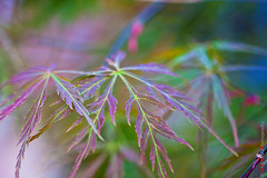 Like a colorful dream.. (Kasia Sokulska (KasiaBasic)) Tags: canada macro japanese maple edmonton conservatory foliage alberta muttart