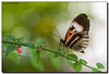 Almost There (Fraggle Red) Tags: macro nature butterfly florida flickrversary upclose heliconiusmelpomene butterflyworld coconutcreek canonef100mmf28usmmacro tradewindspark pianokeybutterfly browardco adobelightroom4 6thflickranniversary 6thflickrversary