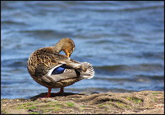 Spring Cleaning.. (milleniumxgirl) Tags: lake ny newyork water canon duck spring pond merrick t2i