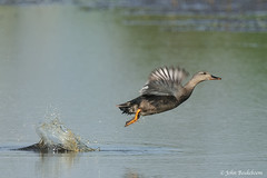 Gadwall take-off (John Beukeboom) Tags: bird nature water fauna flying duck nikon wildlife flight natuur 500mm eend avian vogel autofocus d300 vliegen gadwall anasstrepera krakeend watervogel ringexcellence dblringexcellence tplringexcellence allnaturesparadise eltringexcellence johnbeukeboom allofnatureswildlifelevel1 allofnatureswildlifelevel2 allofnatureswildlifelevel3 allofnatureswildlifelevel4 allofnatureswildlifelevel5 allofnatureswildlifelevel8 allofnatureswildlifelevel6 allofnatureswildlifelevel7 allofnatureswildlifelevel9