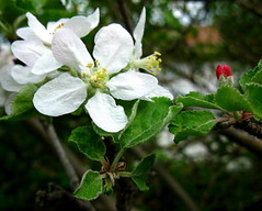 Apple blossom (oshita946) Tags: flowers nature colors appletree malusdomestica