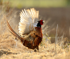 Pheasant Phasianus colchicus (richie0172) Tags: wild male bird nature pheasant phasianuscolchicus gamebird galliformes phasiandae