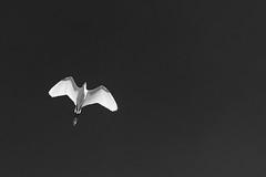 (Herv KERNEIS) Tags: france noiretblanc ciel vol picardie marquenterre baiedesomme egrettagarzetta aigrettegarzette d700 somme80 nikkor70300mmf4556 saintquentinentourmont silverefexpro2