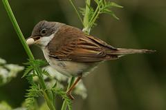 Watching Whitethroat. (stonefaction) Tags: nature birds port scotland allen wildlife perthshire errol faved whitethroat