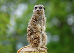 Hello!  I'm The Lookout.... (Wire_cat) Tags: animal mammal zoo meerkat whipsnade whipsnadezoo greatphotographers supershot nikond40 wirecat nikon70300mmafsvr onlythebestofnature