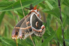 2012 Cecropia Moth (Hyalophora cecropia) 2 (DrLensCap) Tags: chicago bird robert butterfly bug insect point illinois moth il and montrose kramer sanctuary cecropia hyalophora mygearandme mygearandmepremium