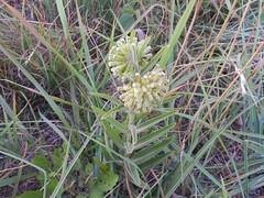 DSCN8048thinleaf Ascl viridiflora (Aubunique) Tags: dryprairie aubreyjamesshepherdnaturephotosaubreyjamesshepherdenvironmentaldestructionwildflowersfornativespeciesrochierhillsouthfayettevillearapartmentsreplacinghigh june222012aubreyjamesshepherdphotos