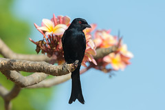Fork-tailed Drongo perched on a flowering frangipani tree (Dave Montreuil) Tags: africa flowers wild black tree bird nature beautiful animal temple nice pretty natural bright blossom plumeria alba wildlife gorgeous vivid fork sharp westafrica frangipani gambia environment perched senegal colourful yasmin lovely setting idyllic tailed perching drongo forktailed