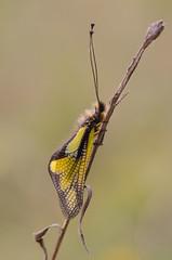Libellenschmetterlingshaft (MichaelMerl) Tags: nikon micro nikkor oberpfalz stativ 105mmvr libelloides coccajus libellenschmetterlingshaft d5100