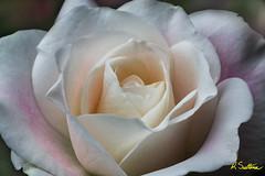 Whiterosepinkblush1.jpg (raysul) Tags: flower macro flowerphotography floralart closeup depthoffield decorative beautyinmacro rose