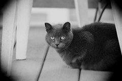 Smoky, The Stray. 6 (EOS) (Mega-Magpie) Tags: canon eos 60d outdoors stray cat smoky eyes chair minnesota mn cute bw black white monochrome vignetting