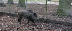 Wildschwein (3) (hanno_pix) Tags: tiergarten wildschwein boar nature wildlife animal hannover germany