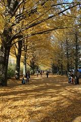Ginkgo avenue / 銀杏並木