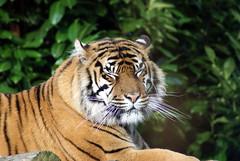 (Moo-lissa) Tags: animal mammal zoo carnivore chesterzoo flickrbigcats
