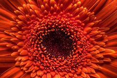 HDR_6199 (Kain Kalju) Tags: orange flower detail macro closeup explosion gerbera hdr 3xp photomatix
