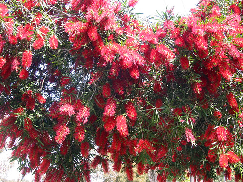 Bottlebrush 05