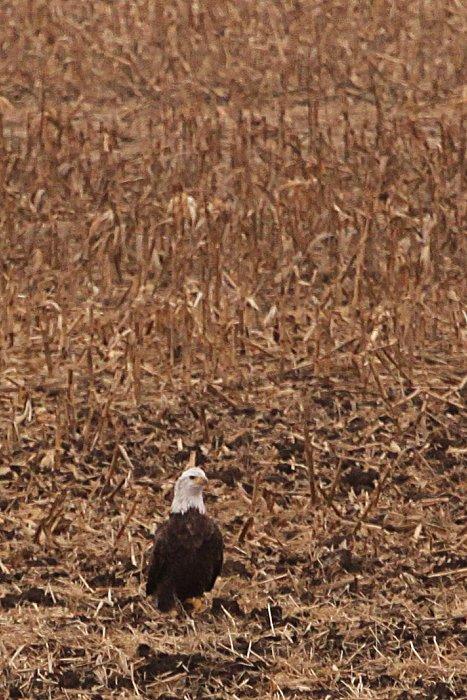 11-20-eagle