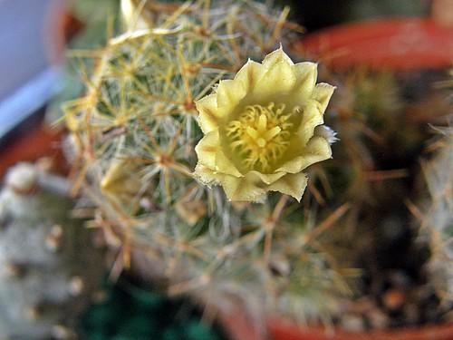 cactus con florcita