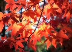 Autumn Leaves (love_child_kyoto) Tags: park november red color tree nature garden maple kyoto gardening autumnleaves arashiyama     olympuspen  botanicalgarden sagano indiansummer   11 togetsukyobridge       tenryujitemple quicksetting     microfourthirds   ashikagatakauji