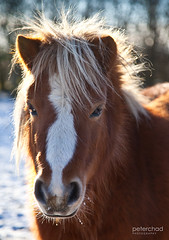 Love_at_first_sight (PeterChad) Tags: horse pet snow love face animal children fun nose hope child play ride pony whisker laugh daytime hoof livestock rider stable shetland equine mane shetlandpony onthehoof noyoucant familygetty2010 canihaveaponydad welcomeuk