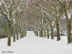 Neige ... (Domi Rolland ) Tags: france europe neige blanc froid 2010 millau aveyron hivers platane midipyrénées parcdelavictoire