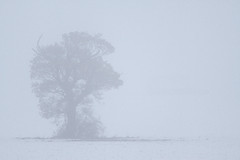 Ice Oak - Norfolk (Nick Caro - Photography) Tags: uk trees winter mist snow color tree field fog landscape nick norfolk caro treeline nickcaro carox nickcarophotography nickcaronatureatduskanddawn wwwnickcarophotographycouk