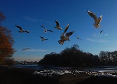 The gulls' cry: early morning at the frozen lake (blinkingidiot) Tags: park nottingham morning snow ice animal campus early university highfield highfields highfieldspark