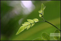 When nature talks!... (ramesh.rasaiyan) Tags: sun sunlight green nature leaf kerala chennai limelight ernakulam garder edapally canoneosrebelt1i canon100mmf28lisusm rameshrasaiyan chennaiphotographers whennaturetalks oppositelighting