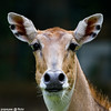She's got the look (Popeyee) Tags: pictures life wild animal canon photography photo flickr gallery foto photographer image photos pics wildlife picture images deer explore fotos user 7d antelope bild impala frontpage popeye bilder journalist 2010 2011 popeyee popeyeeflickr yahoo:yourpictures=wildlife
