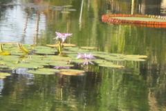 Reflections (Kayle's World) Tags: sandiego balboapark lilypond